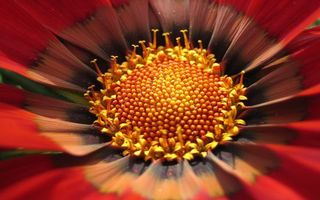 Обои цветок, лепестки, красные, пестики, тычинки, желтые, макро