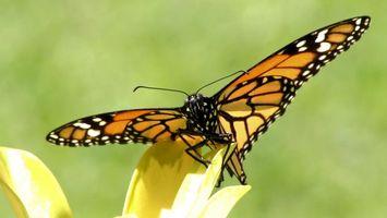 Фото бесплатно бабочка, на цветке, лепестки