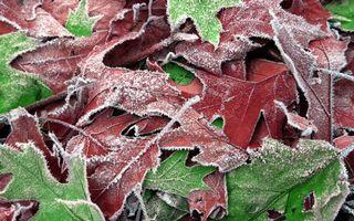 Бесплатные фото иней,листья,ветки,красные,зеленые,холод,природа