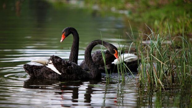 Photo free swan, black, couple