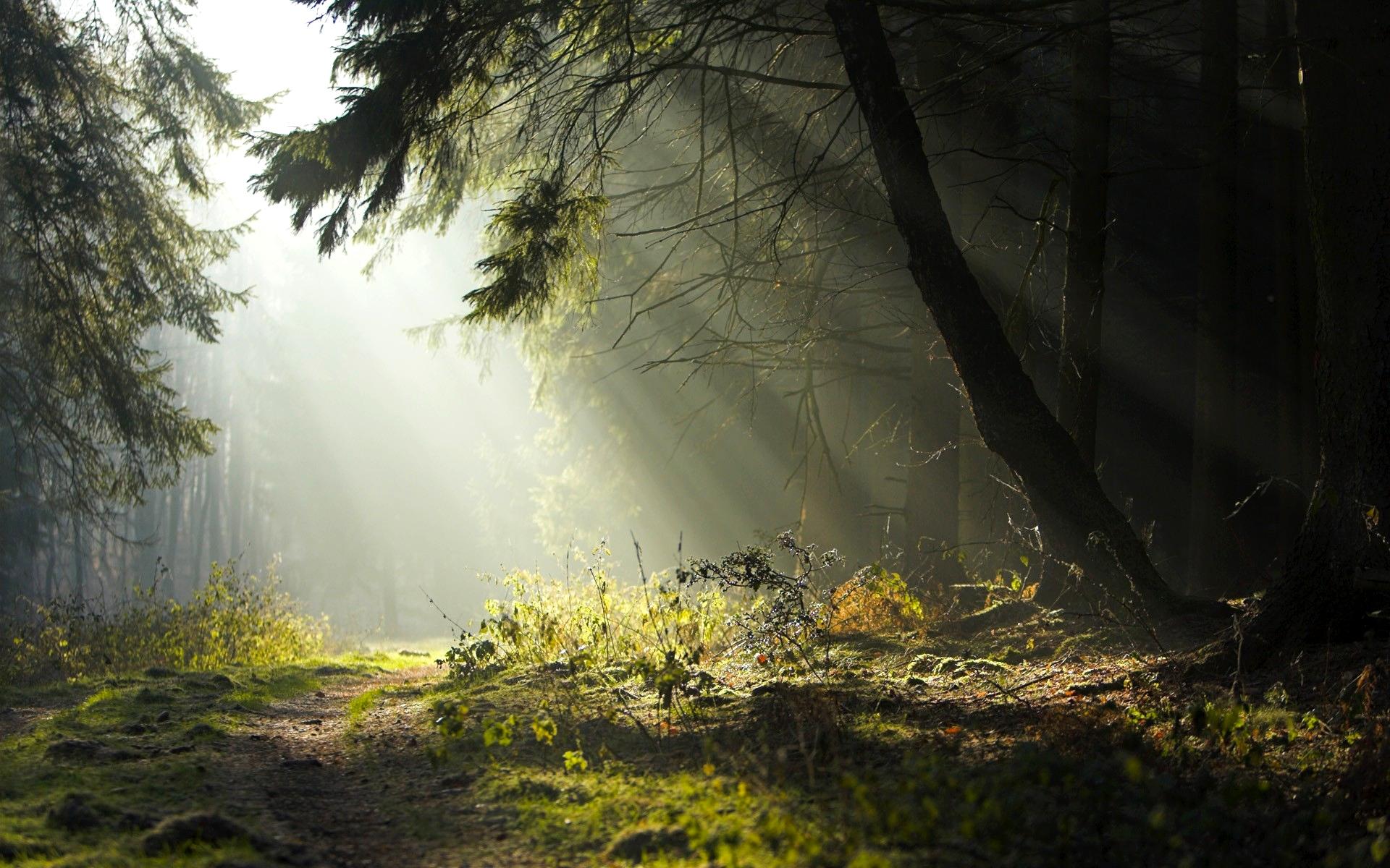 Обои лес, деревья, туман, листья