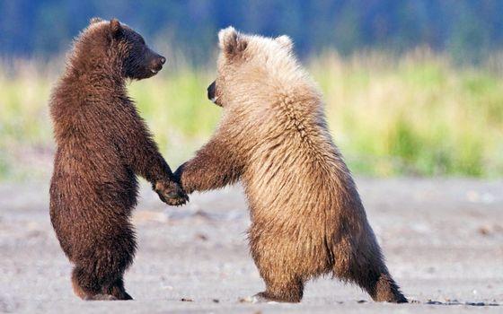 Бесплатные фото медведь,и ещё один медведь,друзья,животные