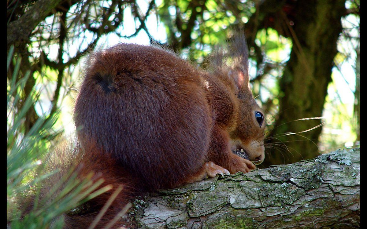Фото бесплатно мех, шерсть, зубы, орех, лес, деревья, ветки, иголки, животные, животные