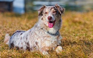 Бесплатные фото пес,щенок,шерсть,уши,нос,глаза,ошейник