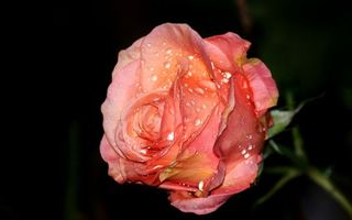 Обои роза, розовая, лепестки, капли, стебель, шипы, цветы