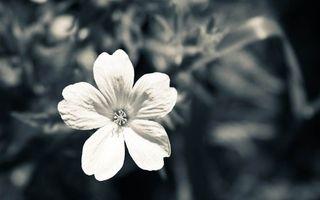 Обои цветок, лепестки, тычинка, фото, черно-белое, трава, луг, клумба, фон, темный, цветы