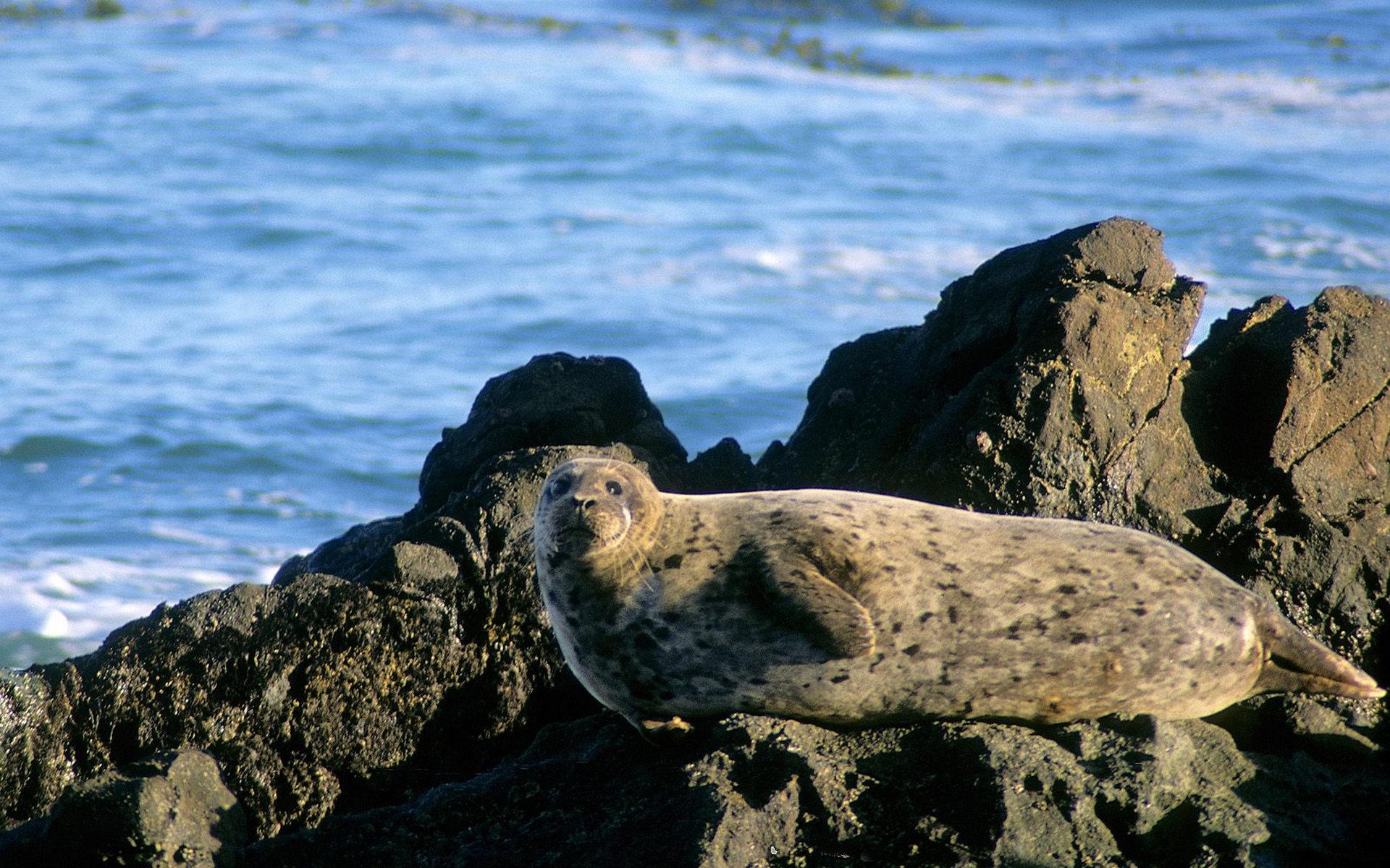 тюлень, морда, ласты