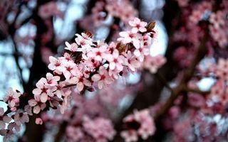 Заставки весна,вишня,цветет,лепестки,розовые,ветка,цветы