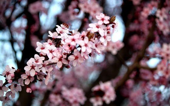 Фото бесплатно весна, вишня, цветет