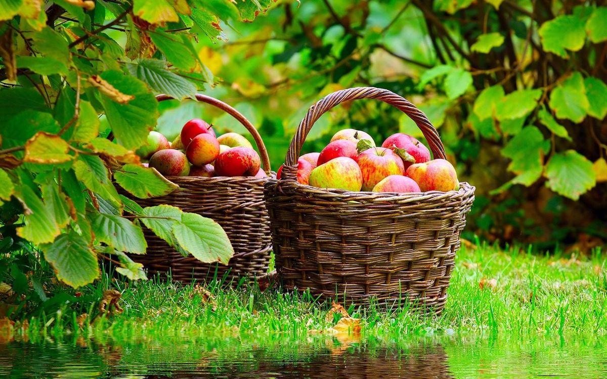 Фото бесплатно яблоки, урожай, корзины, деревья, сад, листья, трава, лето, тепло, жара, еда, природа, природа