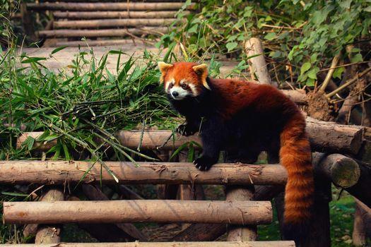 Фото бесплатно красная панда, на ступеньках, деревянных