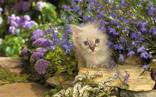 Бесплатные фото кот,кошка,котэ,сиреневые,котенок,цветы,камни