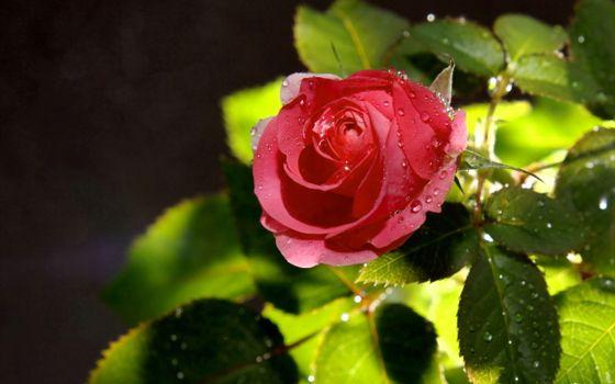 Фото бесплатно розы, капли, цветы