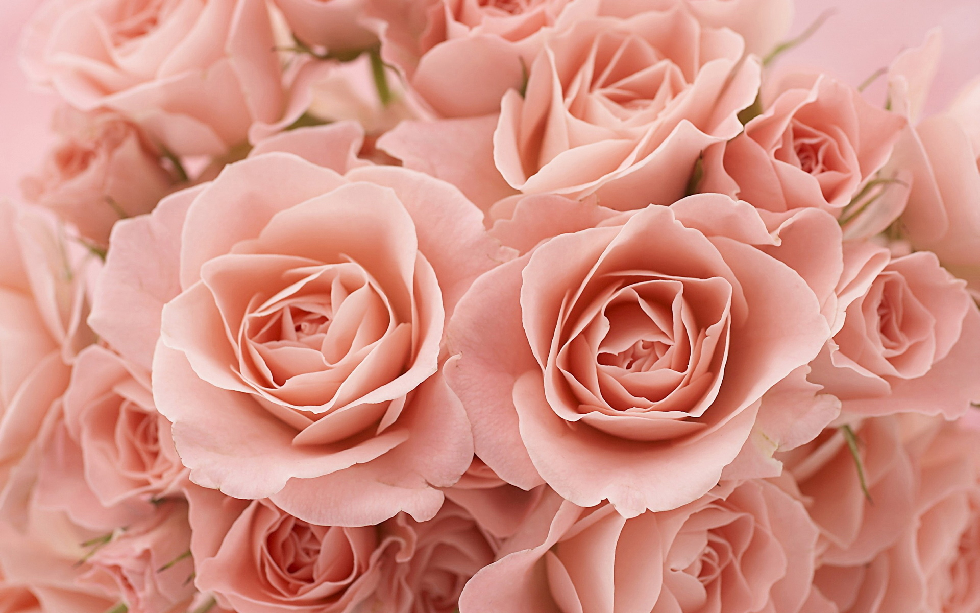 нежно-кремовые свадебные розы  № 1323003  скачать