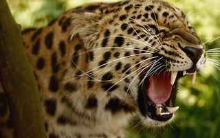 Бесплатные фото леопард,оскал,зубы,клыки,злость,кошки