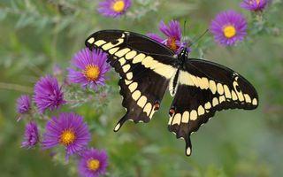 Заставки бабочка, черная, белые пятна, цветы, трава, насекомые