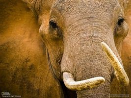 Фото бесплатно слон, national geographic, морда