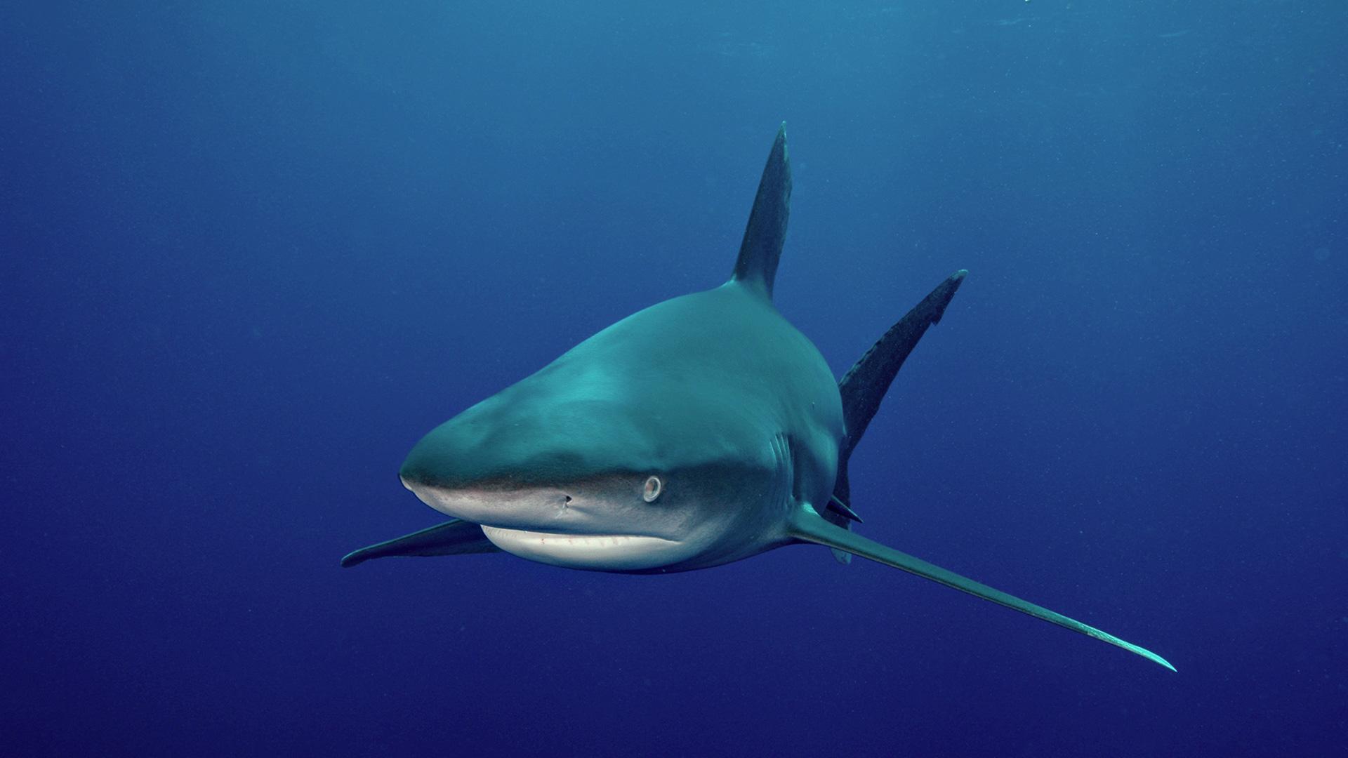 акула, вода, море