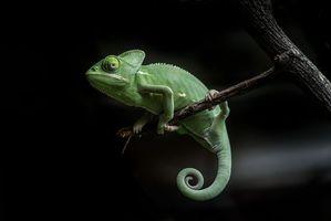Фото бесплатно хамелеон, ветка, чёрный фон
