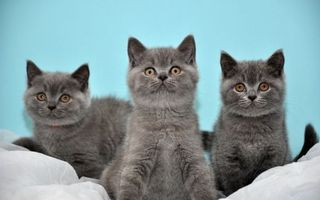 Фото бесплатно котята, британцы, серые