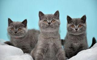 Заставки котята, британцы, серые