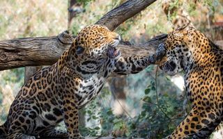 Заставки леопарды, лапы, оскал