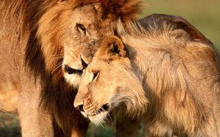 Фото бесплатно львы, семья, пара