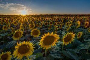 Фото бесплатно подсолнухи, флора, закат