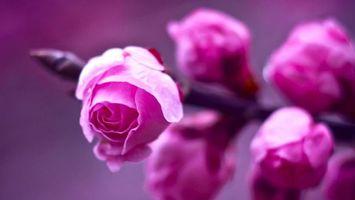 Фото бесплатно розы, бутоны, лепестки, цветки, розовые, ветка, дерево, куст, цветение, цветы
