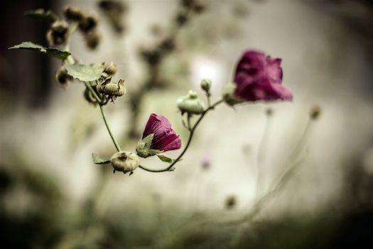 Фото бесплатно цветки, увядание, бутоны
