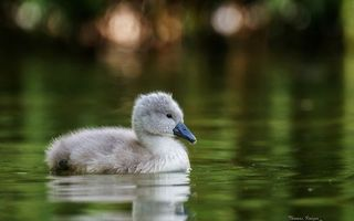 Photo free duckling, gray, wings