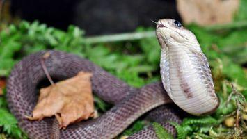 Бесплатные фото змея,язык,глаза,листья,трава,чешуя,серая
