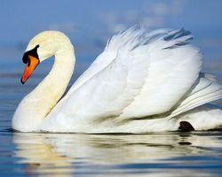 Фото бесплатно лебідь, білий пливе, птах, вірність, животные, птицы