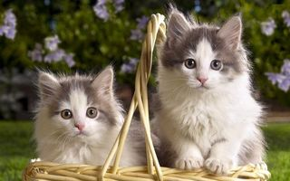 Фото бесплатно котята, корзина, пушистые