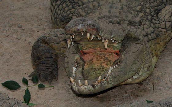 Photo free crocodile, alligator, mouth