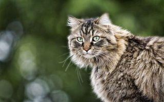 Бесплатные фото кот,пушистый,раскраска,серая,большие,глаза,прогулка
