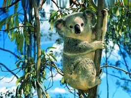 Photo free koala, muzzle, ears
