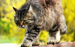 Фото бесплатно кошка, гуляет, забор, морда, хвост, лапы, шерсть, ситуации