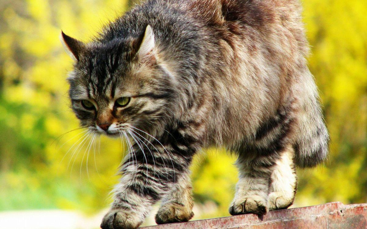 Фото бесплатно кошка, гуляет, забор, морда, хвост, лапы, шерсть, ситуации, ситуации