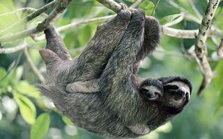 Фото бесплатно ленивцы, висят, морды, стрижка, дерево, ветки, животные