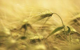Фото бесплатно листья, зерна, растения