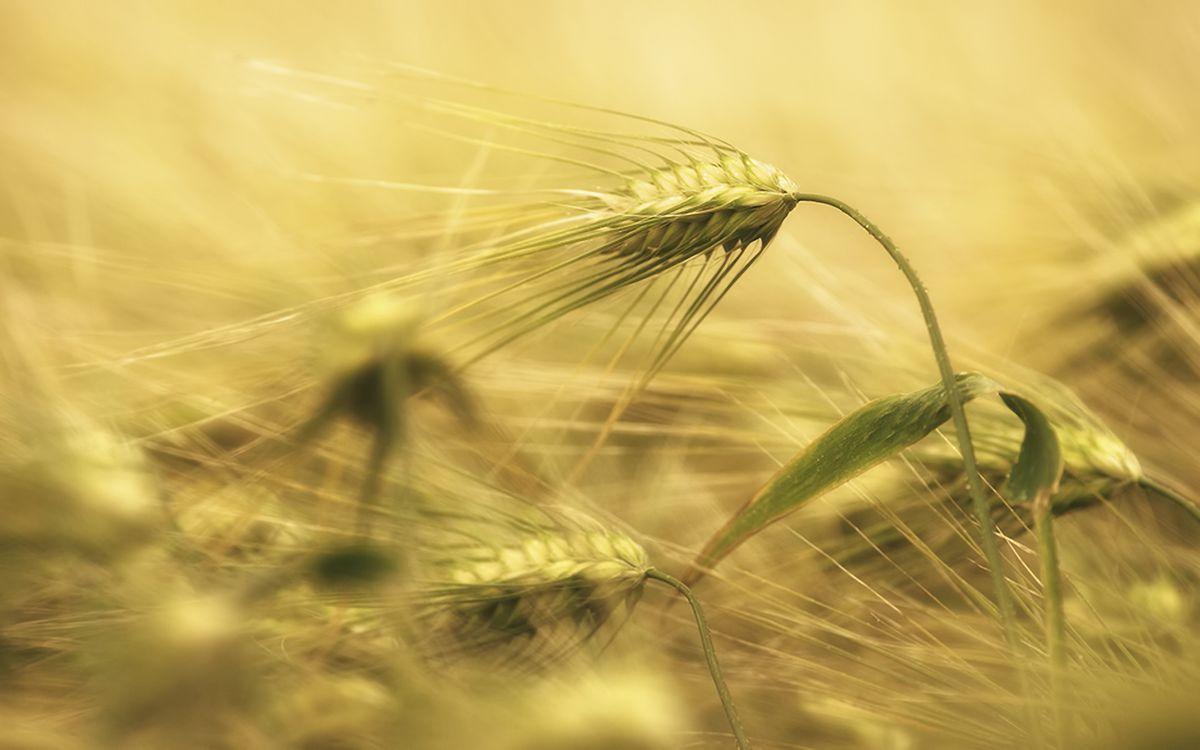 Фото бесплатно рожь, овес, пшеница, колоски, трава, растения, листья, зерна, природа, природа - скачать на рабочий стол