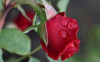 Бесплатные фото роза,красная,бутон,лепестки,стебель,листья,капли