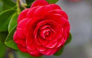 Фото бесплатно красный, листья, лепестки