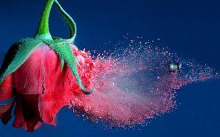 Заставки роза, лепестки, листья, стебель, шипы, капли, пыль, пуля, выстрел, цветы