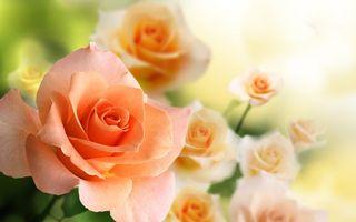 Обои розы, лепестки, стебель, бутон, букет, подарок, шипы, зелень, растение, цветы
