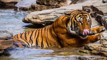 Заставки тигр, язык, вода, камни, уши, глаза, животные