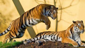 Фото бесплатно тигры, деревья, лапы