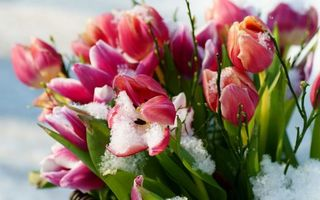 Бесплатные фото тюльпаны,бутоны,лепестки,стебли,ветки,снег,мороз