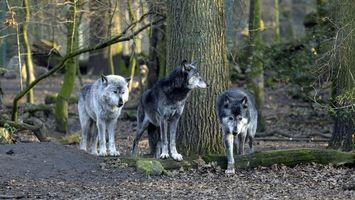 Photo free wolves, forest, trees